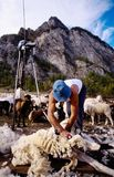 Sheep shearing. In farm on the Alps, Italy Stock Photo