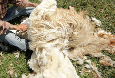Sheep Shearing. In Amasya. Türkiye Royalty Free Stock Photos