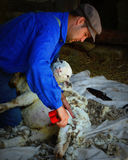 Sheep Shearing Royalty Free Stock Photography