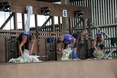 Sheep shearing contest Royalty Free Stock Image