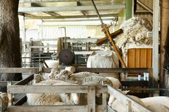 Sheep Shearing Enclosure. Sheep Shearing on a Farm Royalty Free Stock Images