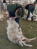 Sheep shearing Ermelo Royalty Free Stock Images