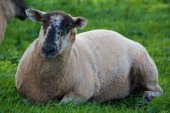 Sheep after shearing. At a farm Royalty Free Stock Photos