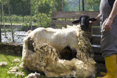 Sheep Shearing Stock Photo