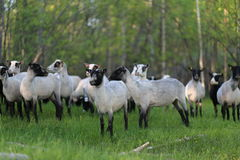 Sheep after shearing. Finnish sheep on the field after shearing Royalty Free Stock Images