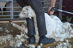 Sheep Shearing. At a local fair in Switzerland Stock Photo