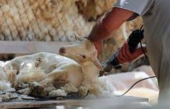 Sheep shearing Royalty Free Stock Photos