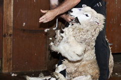 Sheep shearing - New Zealand Stock Photos
