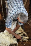 Sheep shearing Royalty Free Stock Image