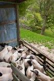 Sheep in shearing shed pen Stock Photo