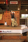 Sheep Shearing Warkworth. AUCKLAND- APR. 22: Sheep shearer demonstrating shearing a sheep with electric shears in rural Warkworth in Auckland, New Zealand photo Royalty Free Stock Photos