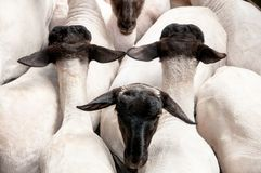 Sheep in shearing yards after being shorn. Sheep in yards after being shorn Stock Images