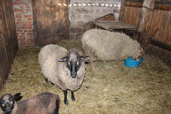 Sheep in the shed Royalty Free Stock Photos