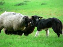 Sheep and Sheep Dog 2 Royalty Free Stock Photos