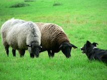 Sheep and Sheep Dog 3 Royalty Free Stock Photo