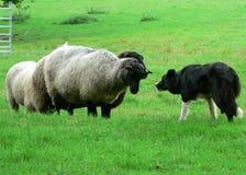 Sheep and Sheep Dog Stock Photography