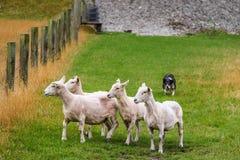 Sheep and sheep dog. Stock Photo