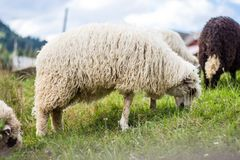 Sheep on sheep farm Royalty Free Stock Image