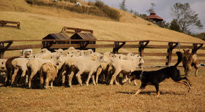Sheep and sheepdog Stock Images