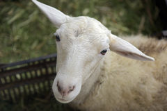 Sheep on the sheepfold Stock Photography