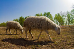 The sheep Royalty Free Stock Photography