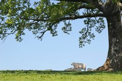 Sheep Sheltering. Spring lambs and sheep sheltering in the shade under the branches of an oak tree with a blue sky to the rear Royalty Free Stock Photos