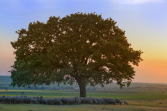 Sheep sheltering in the shade near an oak in the sunset Stock Images