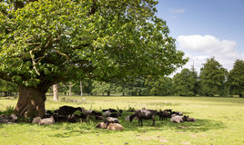 Sheep sheltering in the shade Stock Images