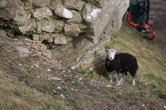 Sheep sheltering on side of hill under stone wall; digger in background royalty free stock photo