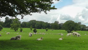 Sheep sheltering under tree stock video footage