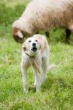 Sheep sheperd. A sheperd dog barking to the sheep in the field Stock Image