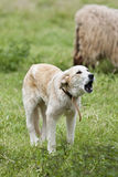 Sheep sheperd. A sheperd dog barking to the sheep in the field Stock Images