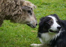 Sheep and shepherd dog Stock Photography