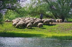 Sheep in natural reserve of the Danube Delta - landmark attraction in Romania. Shepherd with flock of sheep on the romanian shore of the Danube river - natural royalty free stock photos