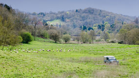 Sheep, shepherd and sheepdogs in English countryside. A farmer herds sheep in the Wiltshire countryside, surrounded by hills and 4x4 vehicle Royalty Free Stock Photos