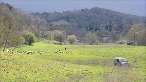 Sheep, shepherd and sheepdogs in English countryside stock video footage
