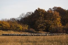 Sheep with shepperd at the outskirt of town Stock Image