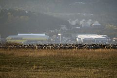 Sheep with shepperd at the outskirt of town Stock Photography