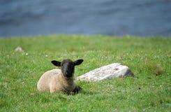 Sheep, Shetland Stock Image