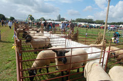 Sheep Show Stock Image