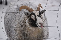 Sheep showing the tongue. Winter time in Ostergotland, Sweden, view over a snow covered sheep showing the tongue Royalty Free Stock Photography