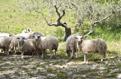 Sheep on the sicilian farm Stock Photography