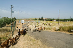 Sheep in Sicily Stock Photos