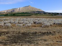 Sheep of Sicily and Mt. Erice Stock Photography