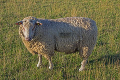 Sheep from the side in a meadow Royalty Free Stock Images
