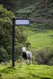 Sheep and sign by England countryside Royalty Free Stock Image