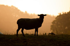 Sheep silhouette. A silhouette of a sheep looking towards the camera royalty free stock photo