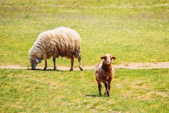 Sheep and single lamb on looking on spring grass. Ewe sheep and single lamb on looking on spring grass stock photo
