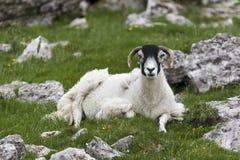 Sheep sitting amongst stones Stock Photography