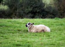 Sheep sitting on grass Stock Images